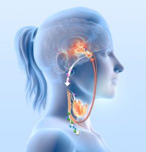 functie Hypothalamus